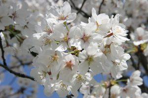 Cseresznyevirágos hidratáló krém